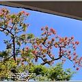 玉里松浦國小鳳凰木-2020-05-09.jpg