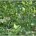 青陽蝴蝶農園-2020-07-13.jpg