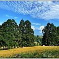 赤柯山小瑞士杉林木-2020-08-03.jpg
