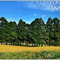 赤柯山小瑞士杉林木-2020-08-04.jpg