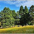 赤柯山小瑞士杉林木-2020-08-07.jpg