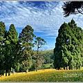 赤柯山小瑞士杉林木-2020-08-10.jpg