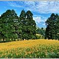 赤柯山小瑞士杉林木-2020-08-13.jpg