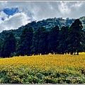 赤柯山小瑞士杉林木-2020-08-18.jpg