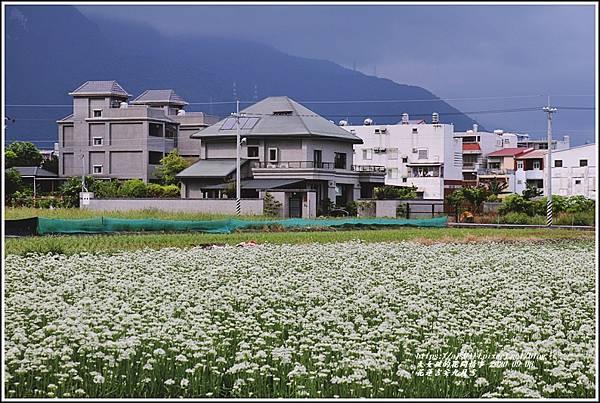 吉安九月雪(韭菜花田)-2020-09-01.jpg