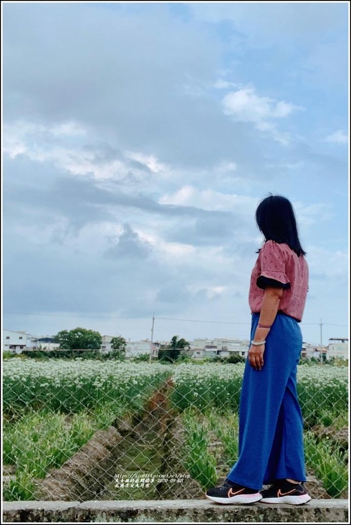 吉安九月雪(韭菜花田)-2020-09-12.jpg