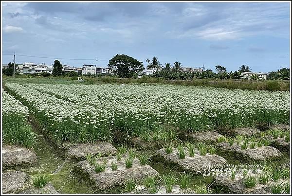 吉安九月雪(韭菜花田)-2020-09-13.jpg