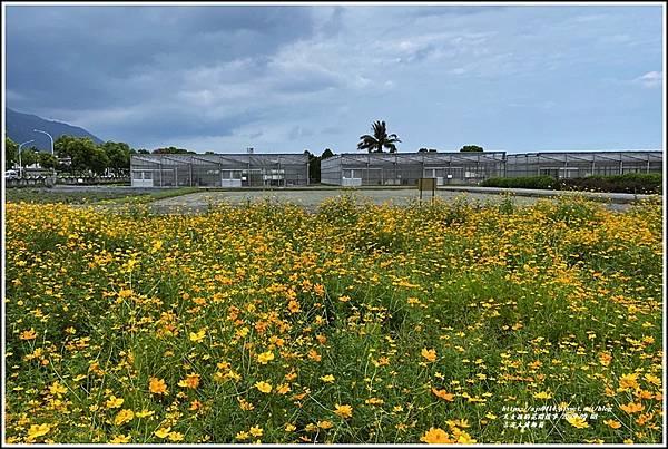 吉安大波斯菊-2020-09-05.jpg
