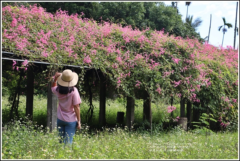 瑞美社區小公園珊瑚藤-2020-10-20.jpg