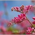 瑞美社區小公園珊瑚藤-2020-10-13.jpg