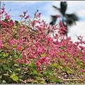 瑞美社區小公園珊瑚藤-2020-10-08.jpg