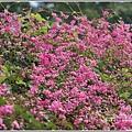瑞美社區小公園珊瑚藤-2020-10-03.jpg