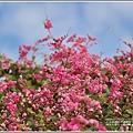 瑞美社區小公園珊瑚藤-2020-10-05.jpg