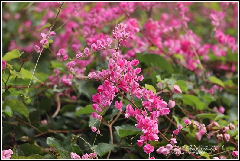 瑞美社區小公園珊瑚藤-2020-10-04.jpg