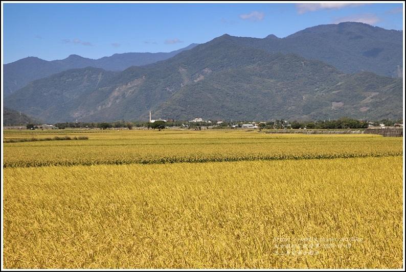 池上黃金稻田-2020-10-30.jpg