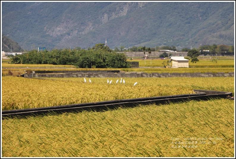 池上黃金稻田-2020-10-26.jpg