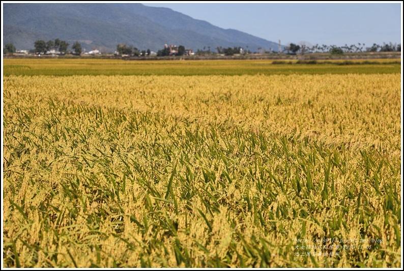 池上黃金稻田-2020-10-23.jpg