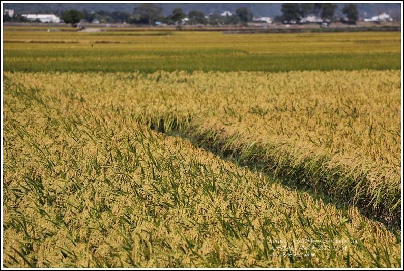 池上黃金稻田-2020-10-22.jpg