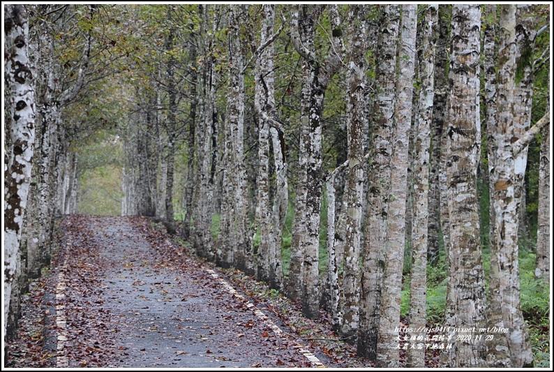 大農大富平地森林(楓林自行車道)-2020-11-11.jpg