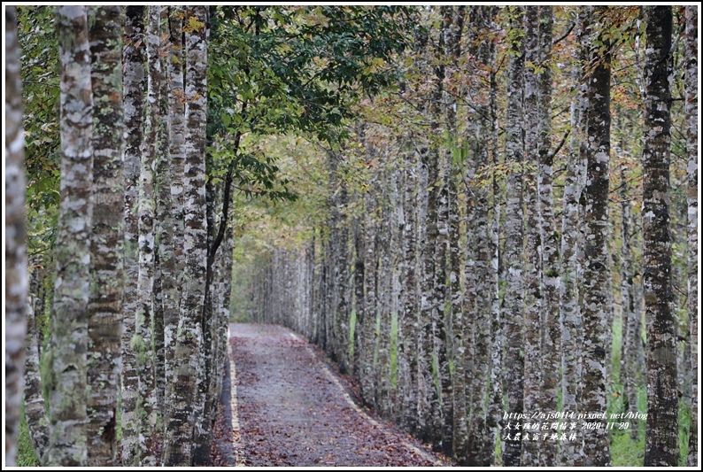 大農大富平地森林(楓林自行車道)-2020-11-15.jpg