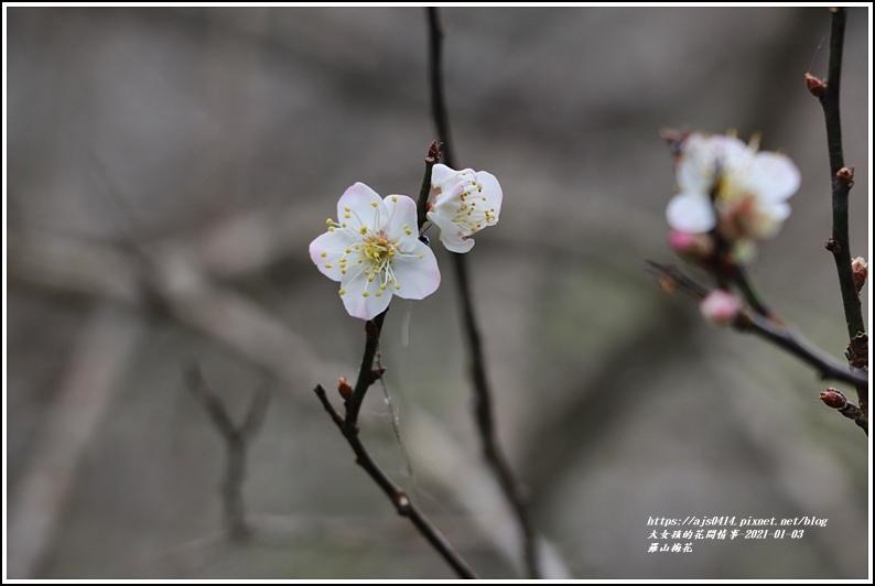 羅山梅花-2021-01-02.jpg