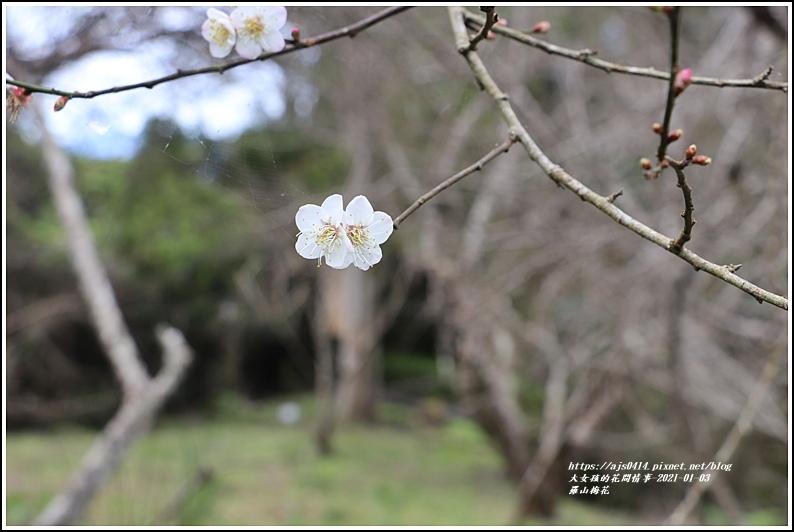 羅山梅花-2021-01-01.jpg