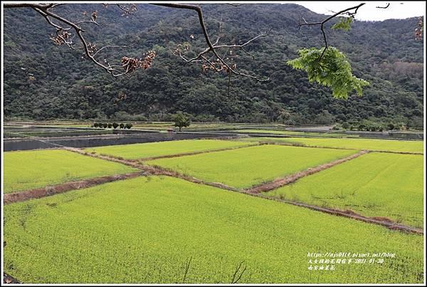 南安油菜花田-2021-01-20.jpg