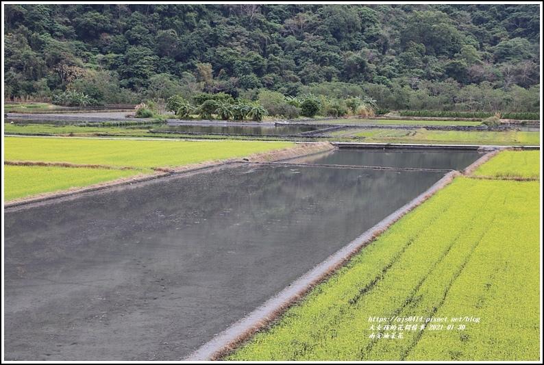南安油菜花田-2021-01-52.jpg