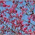 大加汗碧赫潭櫻花-2021-02-02.jpg
