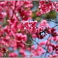 大加汗碧赫潭櫻花-2021-02-22.jpg