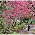 鳳林櫻花步道-2021-02-04.jpg