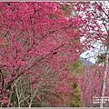 鳳林櫻花步道-2021-02-07.jpg