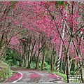 鳳林櫻花步道-2021-02-09.jpg