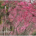 鳳林櫻花步道-2021-02-13.jpg