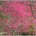 鳳林櫻花步道-2021-02-60.jpg