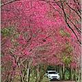 鳳林櫻花步道-2021-02-56.jpg