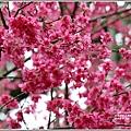 鳳林櫻花步道-2021-02-73.jpg