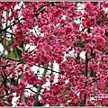 鳳林櫻花步道-2021-02-71.jpg