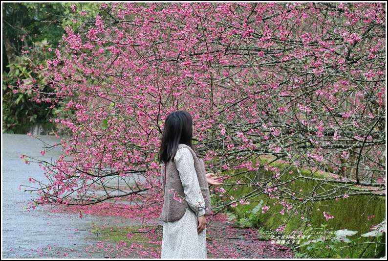 樹湖櫻花步道-2021-02-08.jpg