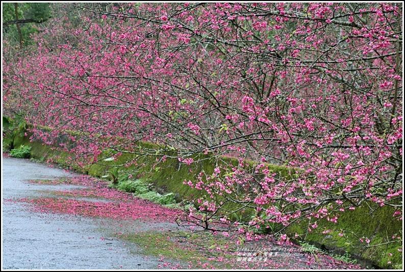 樹湖櫻花步道-2021-02-12.jpg