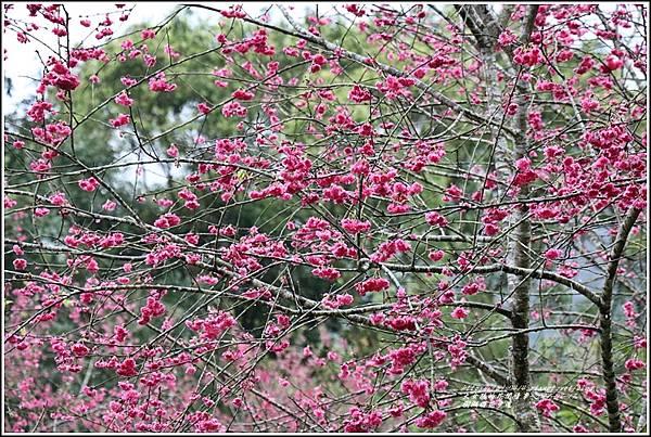 樹湖櫻花步道-2021-02-24.jpg