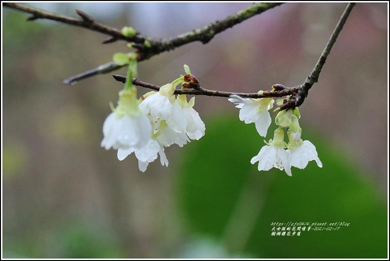 樹湖櫻花步道-2021-02-27.jpg
