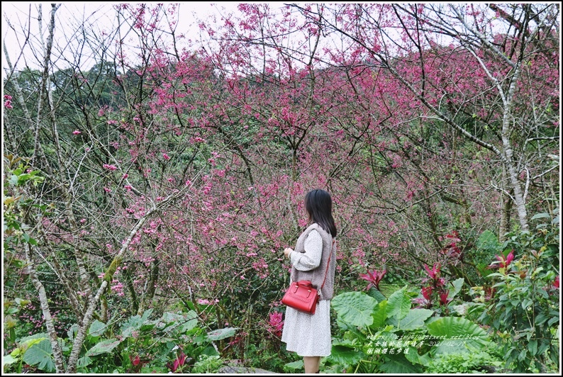 樹湖櫻花步道-2021-02-33.jpg