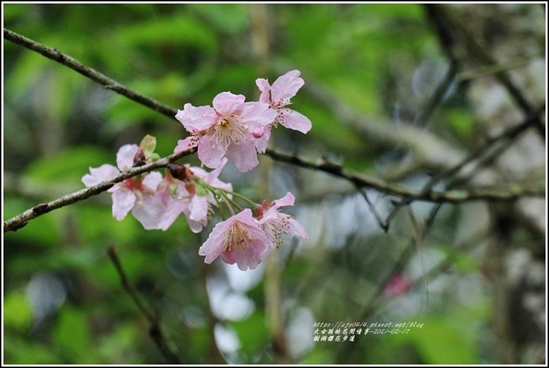樹湖櫻花步道-2021-02-36.jpg
