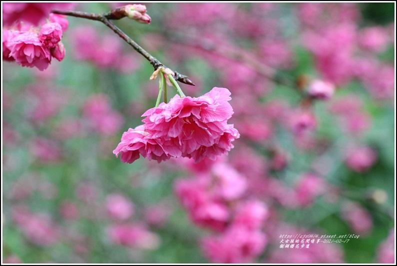 樹湖櫻花步道-2021-02-45.jpg
