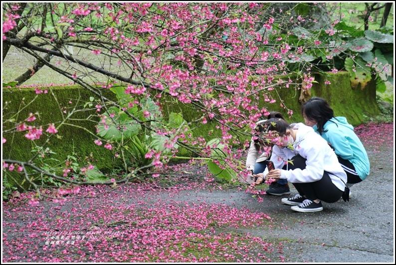 樹湖櫻花步道-2021-02-84.jpg