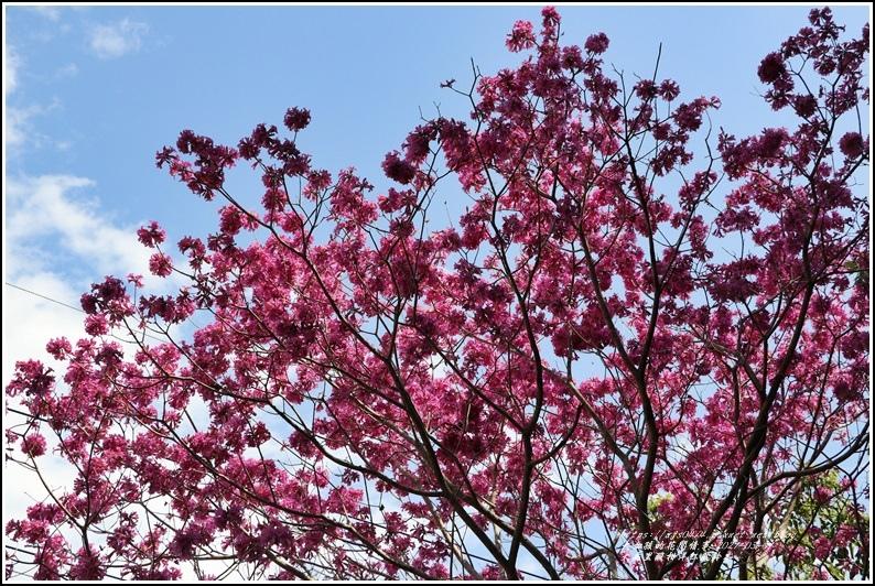 大禹里酸柑洋紅風鈴木-2021-03-16.jpg
