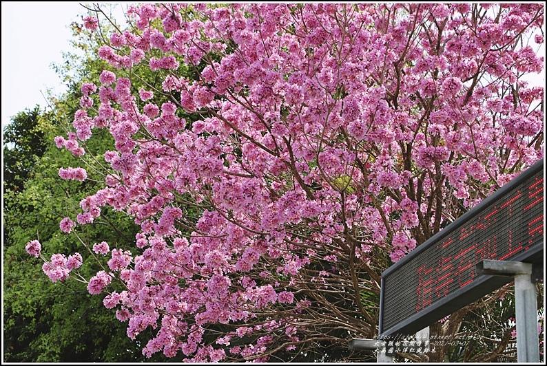 大禹國小洋紅風鈴木-2021-03-07.jpg