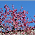 玉山神學院櫻花-2021-02-01.jpg