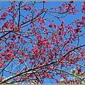 玉山神學院櫻花-2021-02-05.jpg